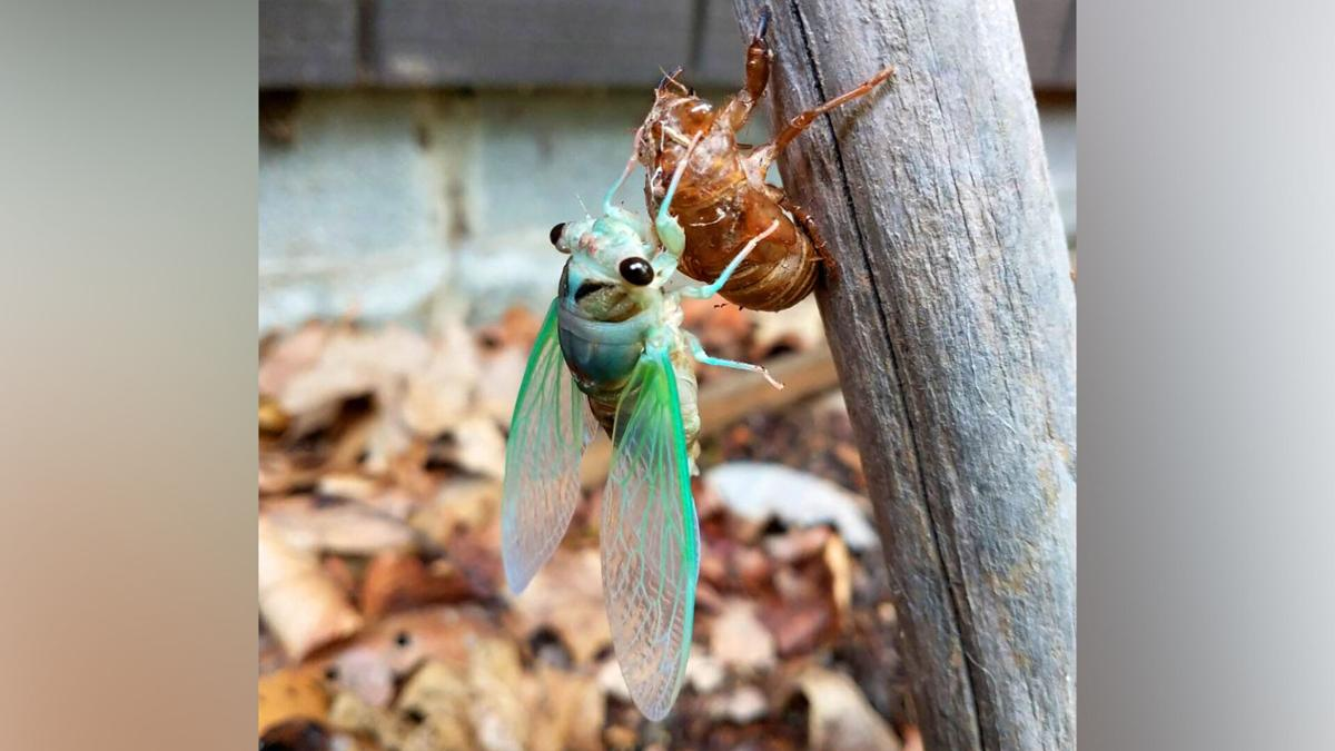 Brood X had a good run, but now the annual cicadas are taking center stage