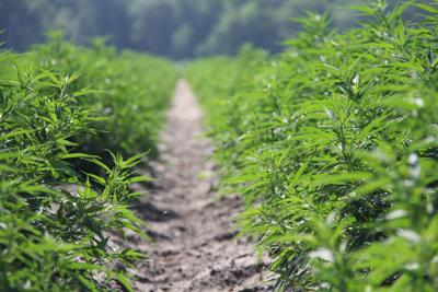 Industrial hemp shows promise for S C  agriculture | Local
