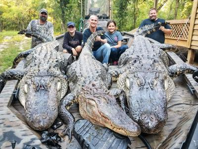 Lake Marion alligators