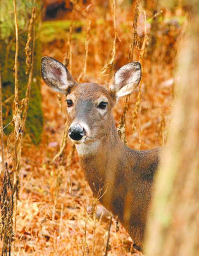 Deer illustration LIBRARY