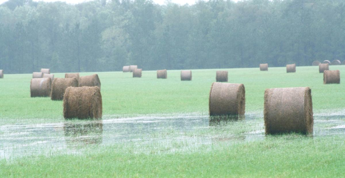 Pee Dee hay