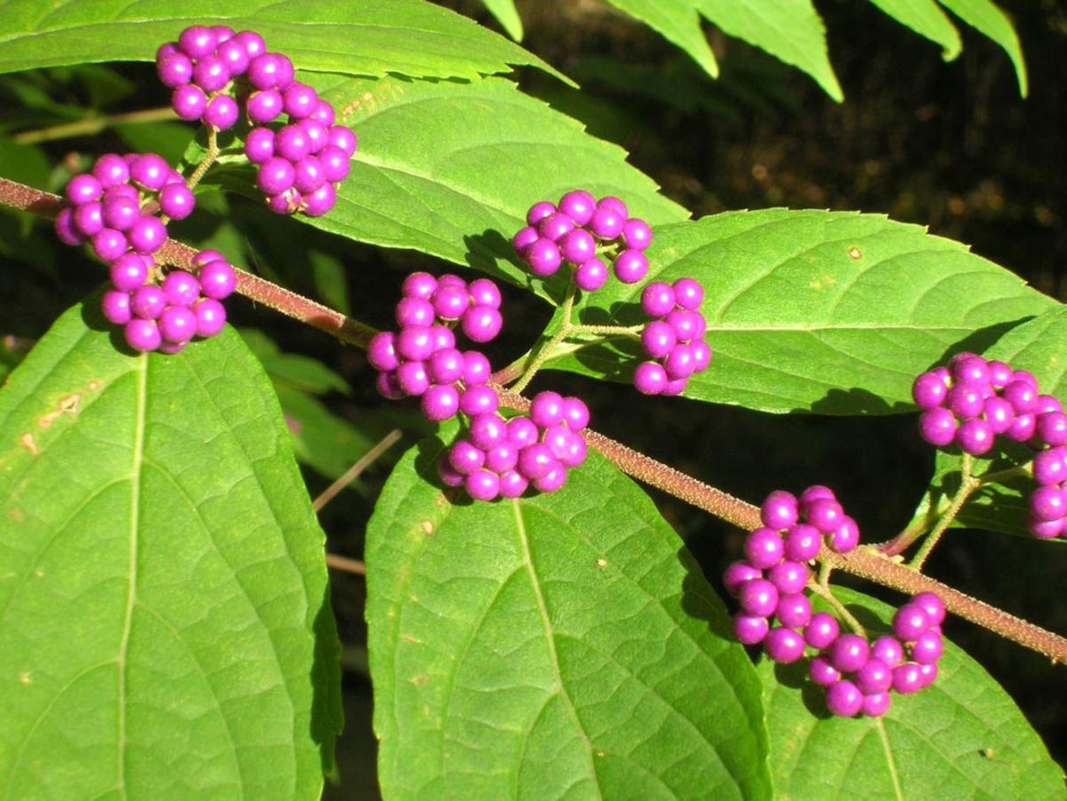 Purple berries on Callicarpa americana