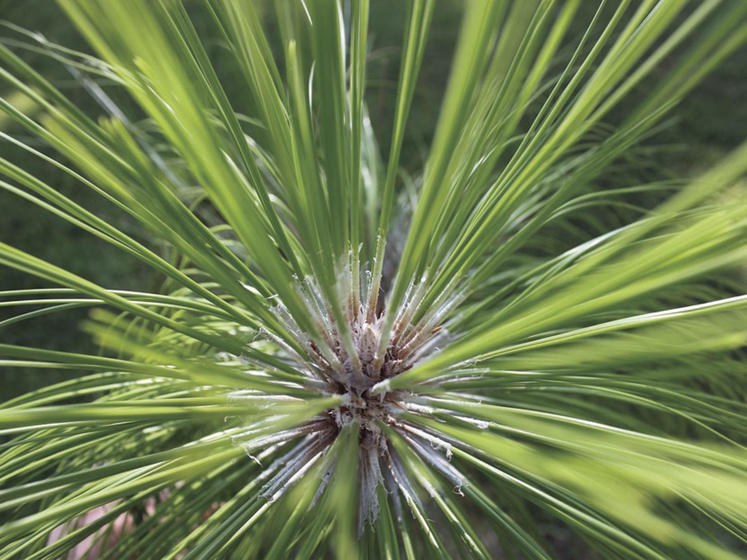 Some Longleaf Pine Trees Are Shedding Needles Early This Year Business Thetandd Com
