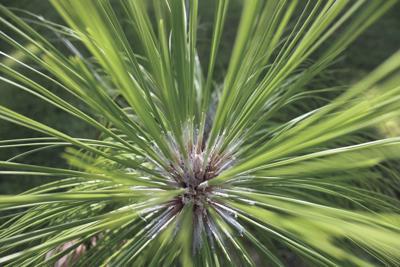 Longleaf Conifer Natural Pine Longleaf Pine Forest