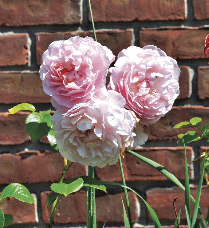 Gardening Roses
