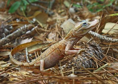 A leucistic American alligator hatchling