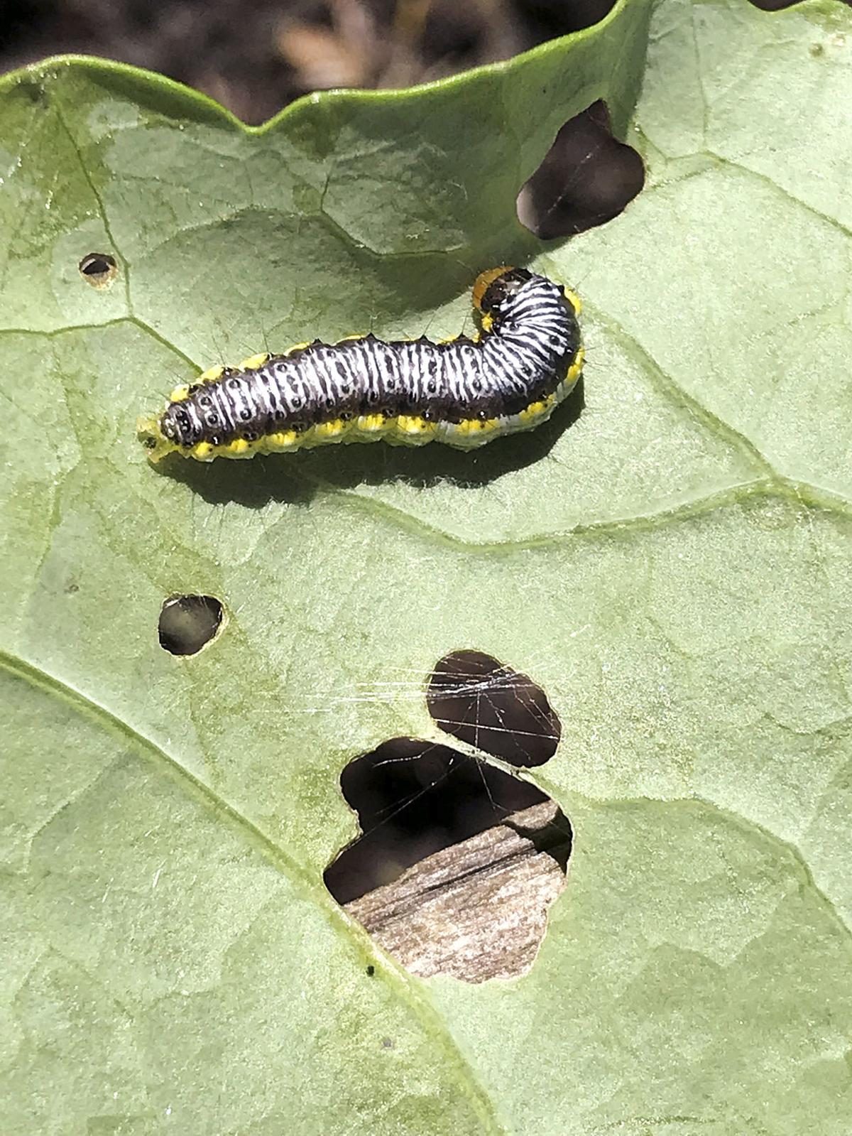 042519 COPSEY Caterpillar on cabbages