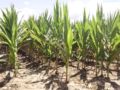 Dryland Corn