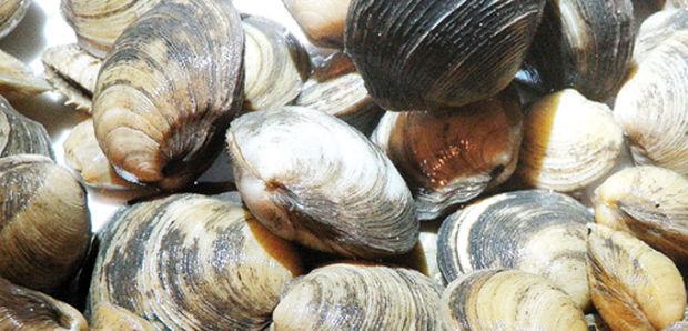 Lucinid clams
