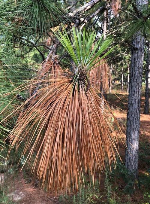 082321 FARM longleaf pines.jpg
