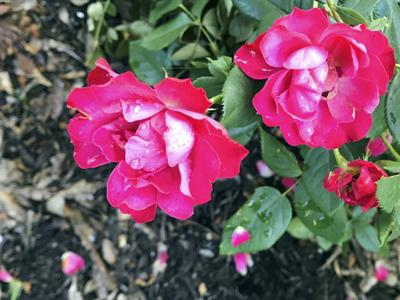 062719 COPSEY 'Oso Easy Double Red' Rose