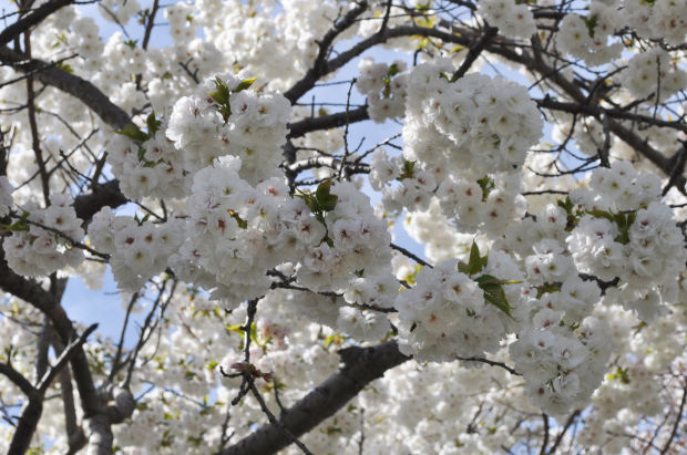 Gardening-Cherry Trees