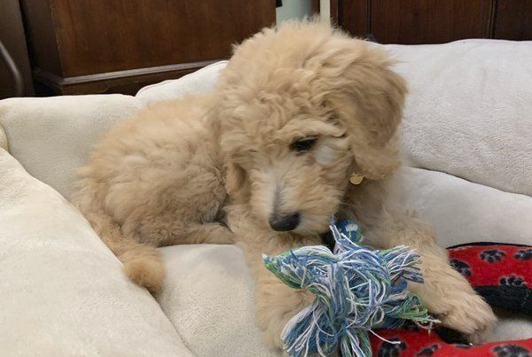 <b>Goldendoodle 'Dolly' to serve as funeral home's therapy dog</b>