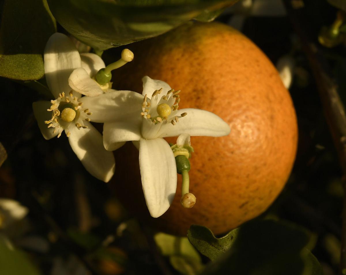 Sunsational Farms Citrus Industry