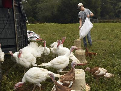 Turkey farmers prepare for holidays