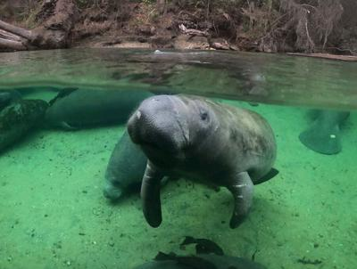 ​Manatees traveling to warmer waters