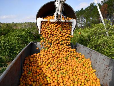 Citrus industry makes a bigger economic impact