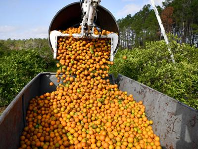 Citrus growers upbeat over production bump