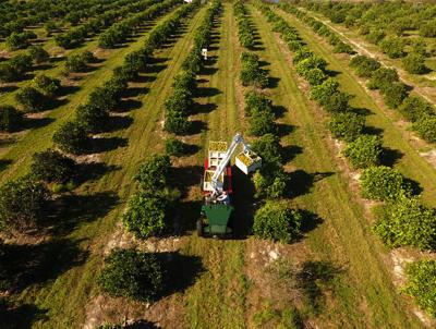 Florida's famed Citrus in fight for survival