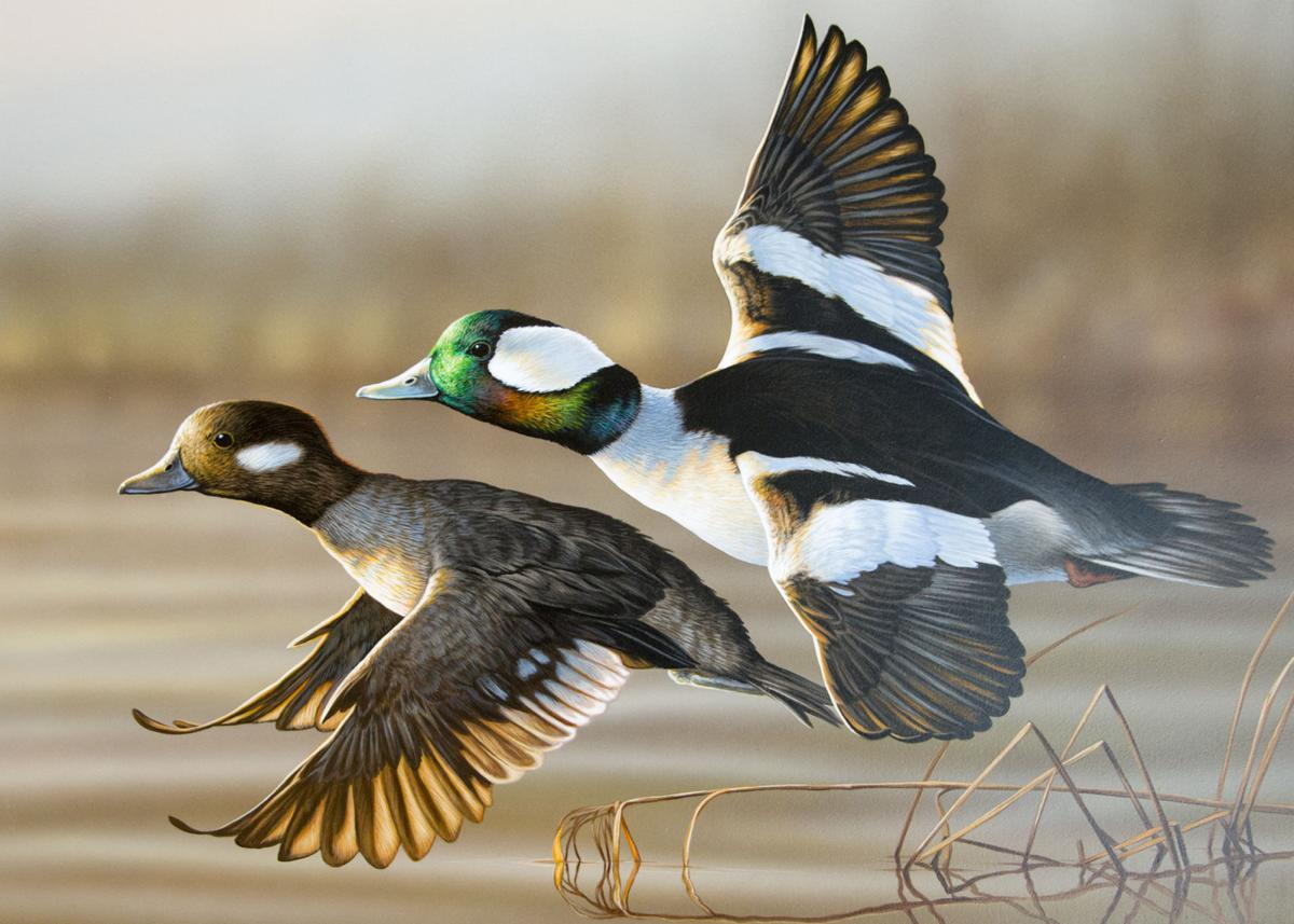 Richard Clifton's painting of Bufflehead took first in both the Waterfowl Stamp and People's Choice contests.