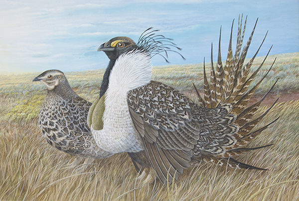04 Greater Sage-Grouse - John Conner_600