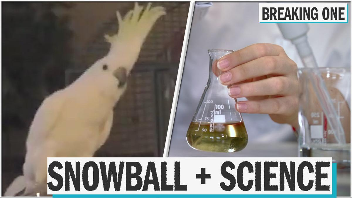 Scientists discovered this cockatoo has 14 self-taught dance moves