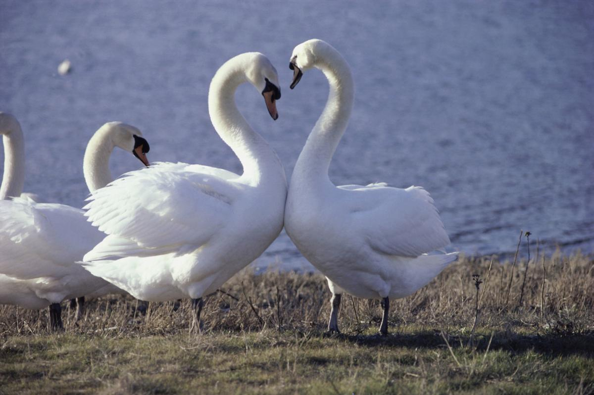 71264065 Mute Swans