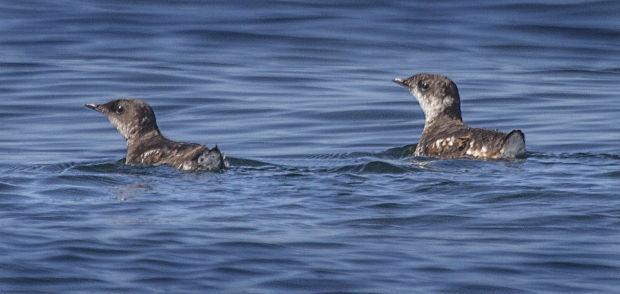 Threatened Seabird-Logging