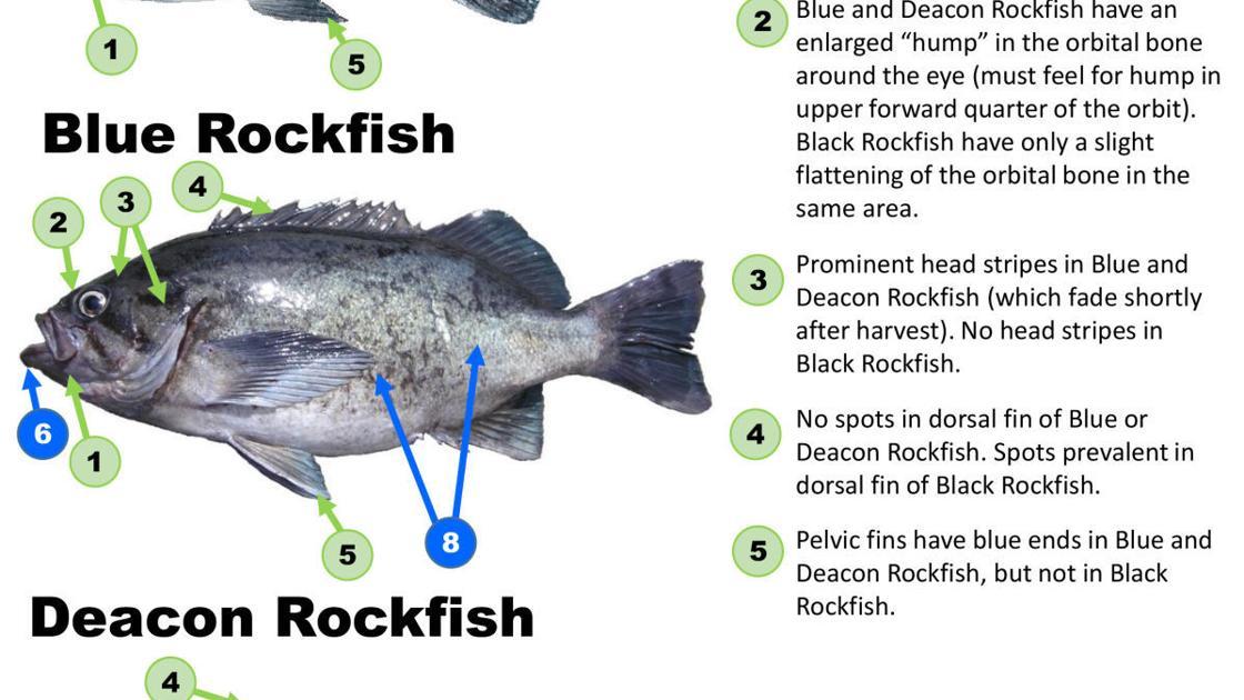 Deacon rockfish tastes like blue rockfish | Recreation