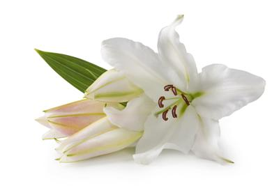 Close-up of white lily flowers with the leaf Easter Lily
