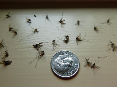 Mosquito swarms