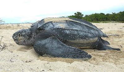 Leatherback sea turtle