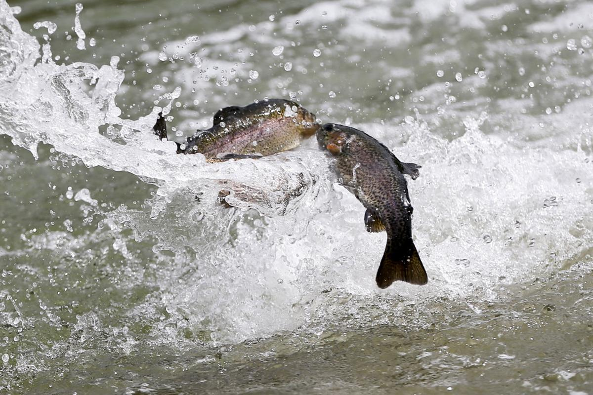 Trout Fish Stocking STOCK