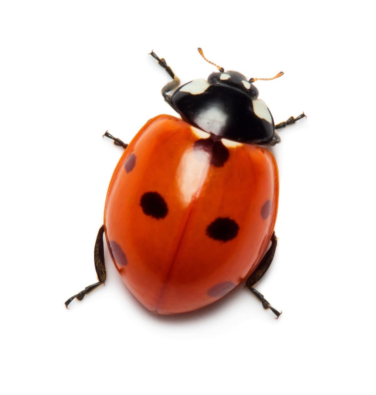 512569034 lady bug cutout