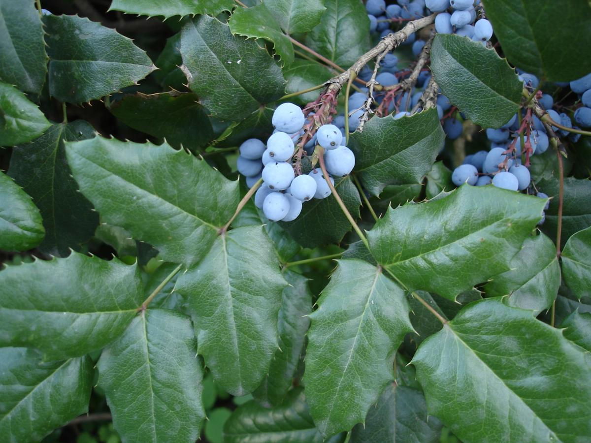 Mahonia aquifolium blue fruit and green leaves Oregon Grape