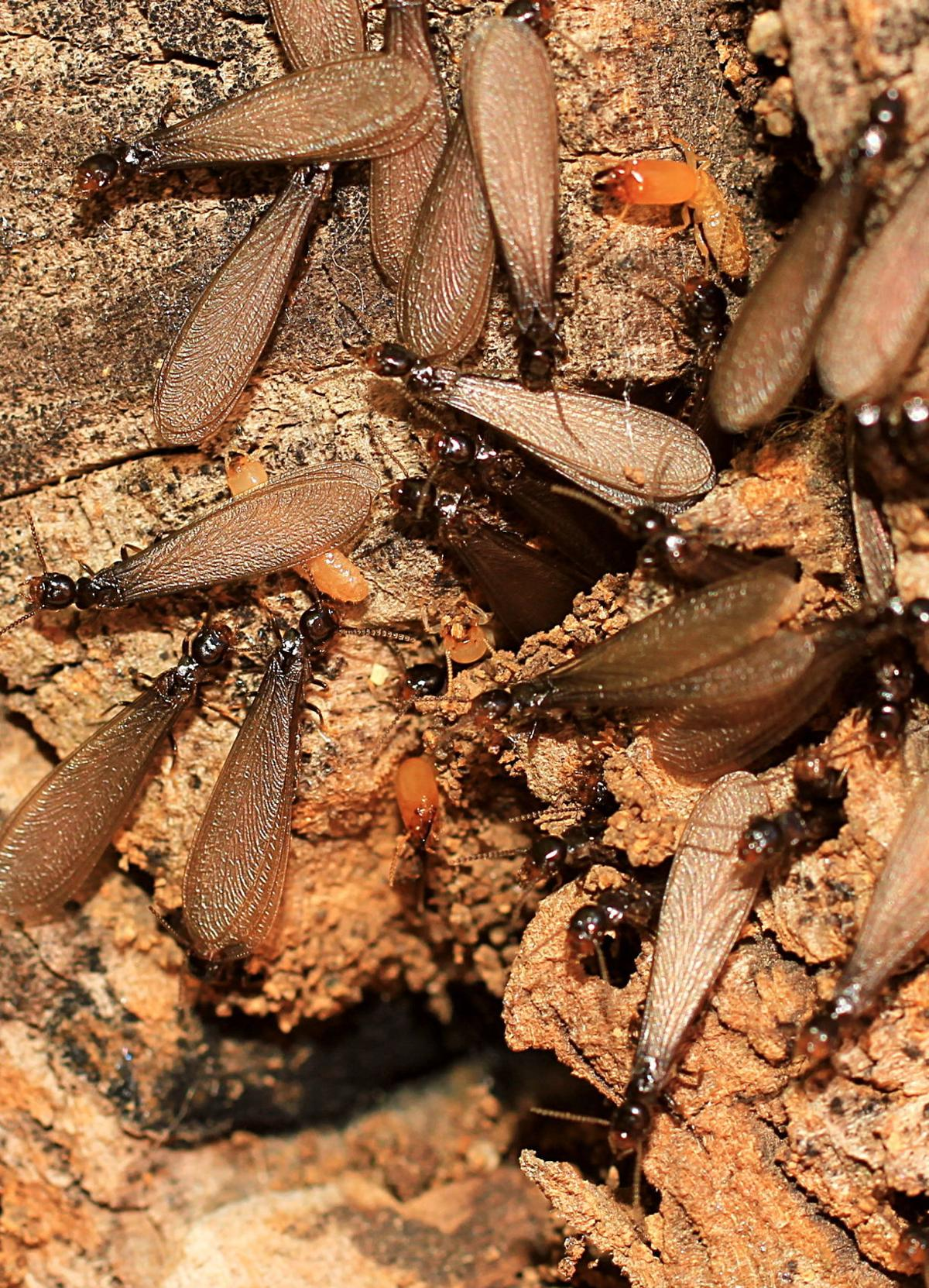 Old wooden beam affected by woodworm. Wood-eating larvae species beetle