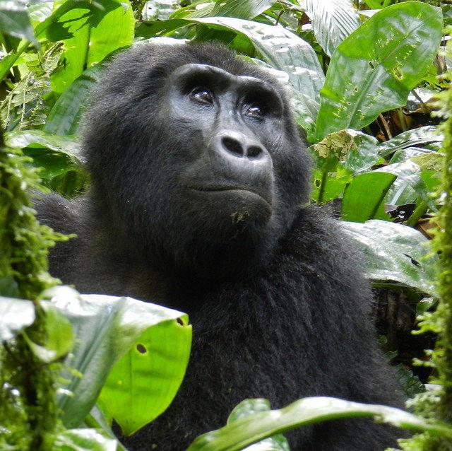 Eastern gorilla