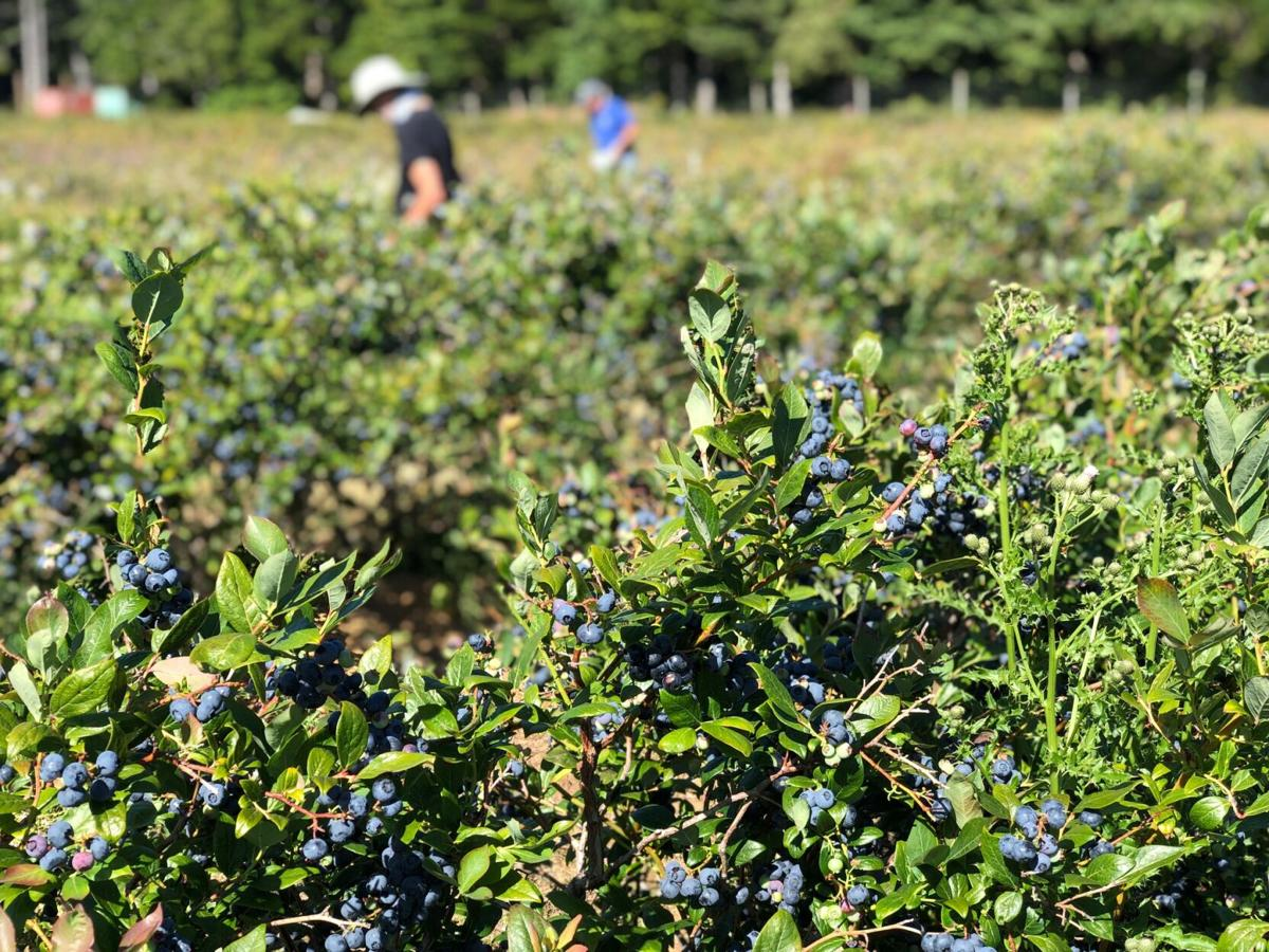 Valentie Blueberries