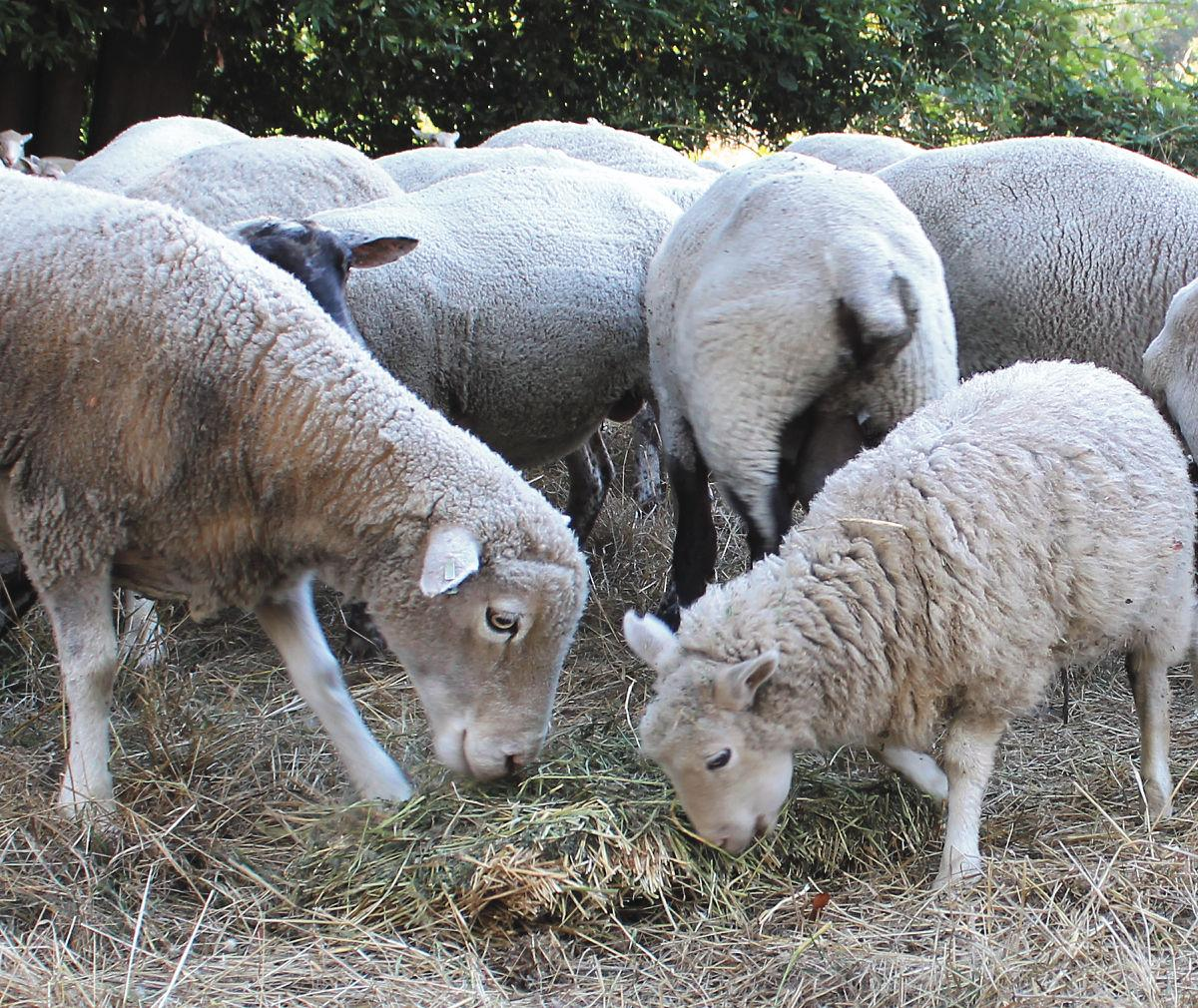 More sheep than ewe know | Local News | theworldlink com