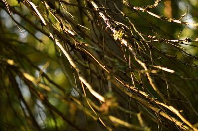 Lower dry spruce branches in the light of the bright morning sun in the abstract form of a plexus