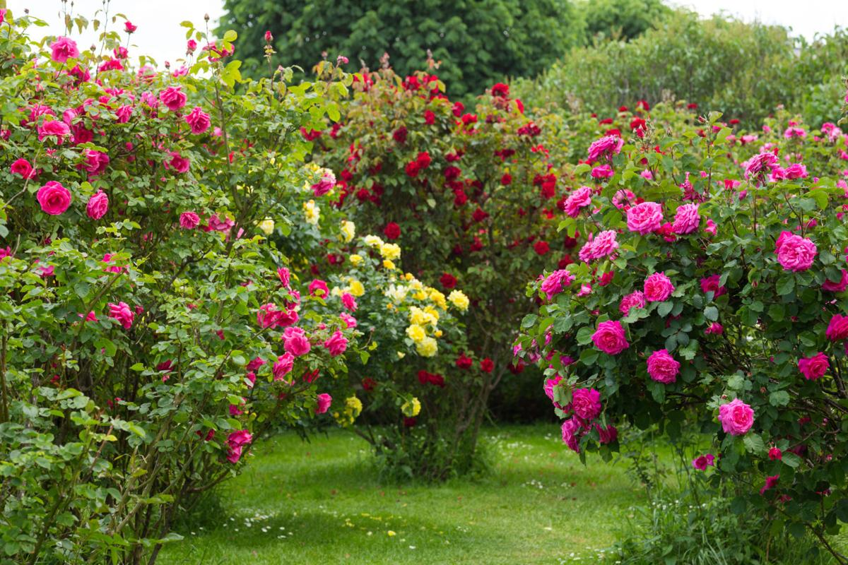 Win a rose bush plant from local club | South Coast ...