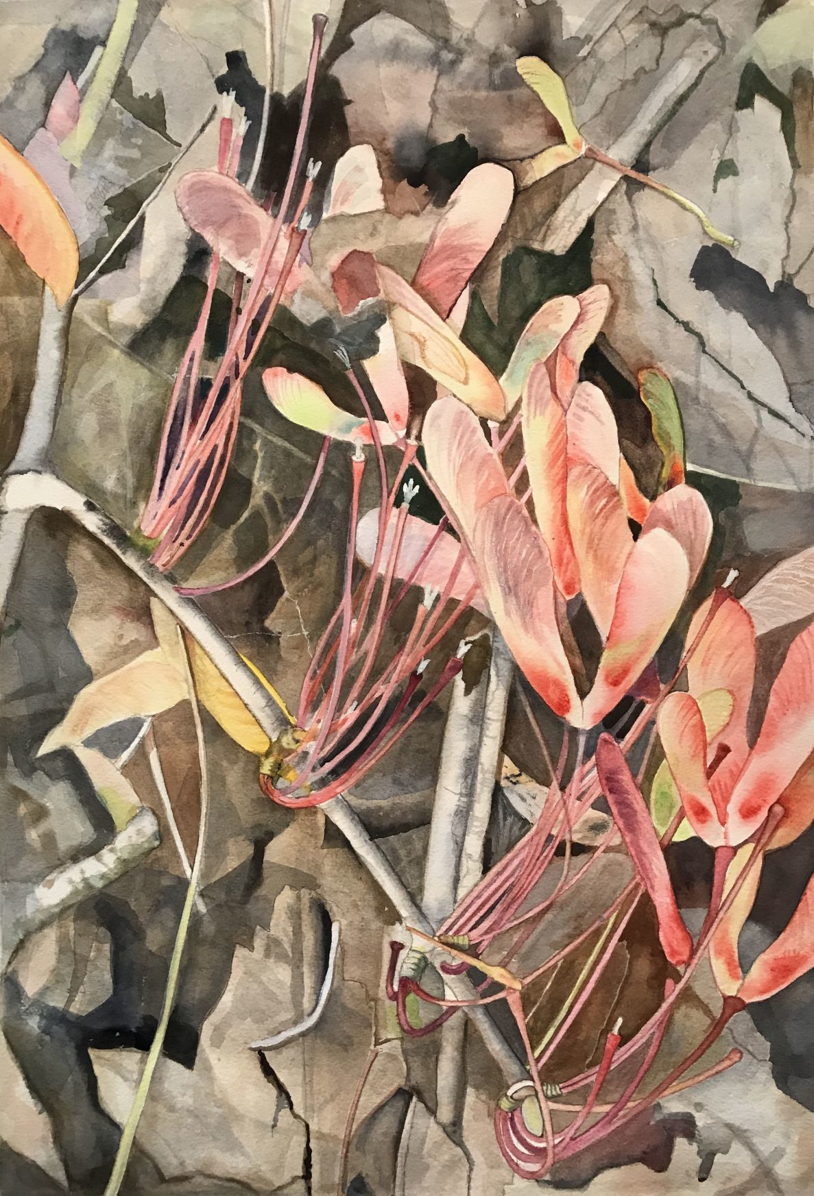 """""""Samaras/Samsaras,"""" winged seeds of the red maple by Victoria Tierney"""