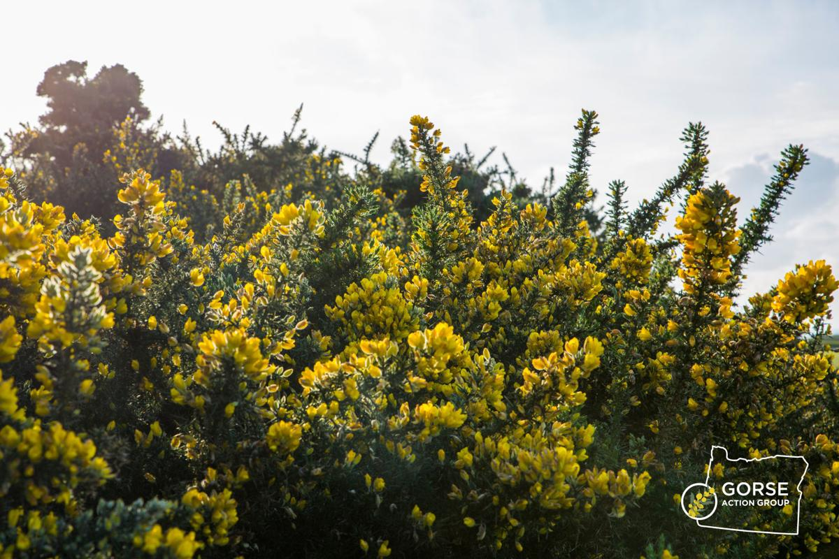 Gorse on the South Coast