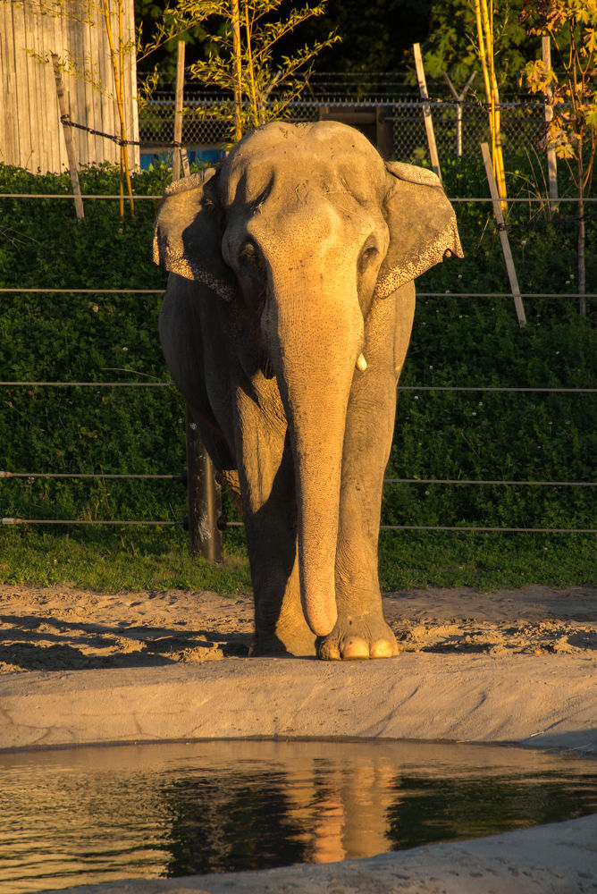 Oregon Zoo: Zoo Mourns Asian Elephant Packy, Oldest Male Of His