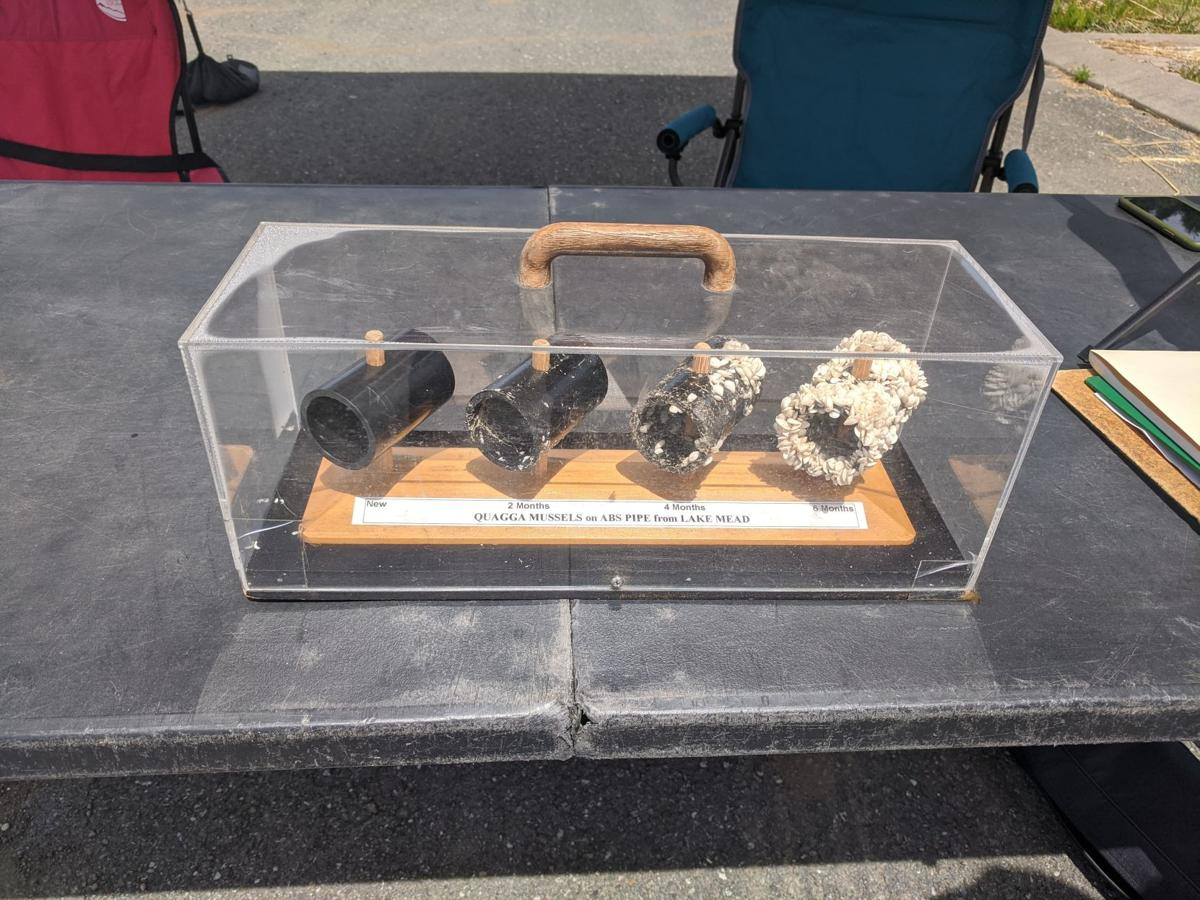 Invasive mussels are shown in a display at the ODFW inspection station in Brookings