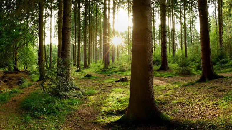 Sunrise in the forest - trees - conifer