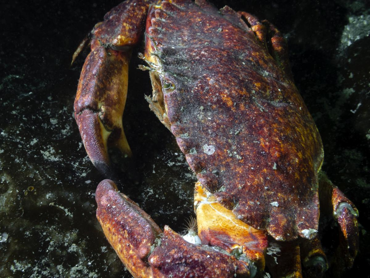 Cancer productus (Red rock crab)