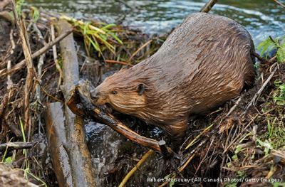 Beavers at Bandon Library