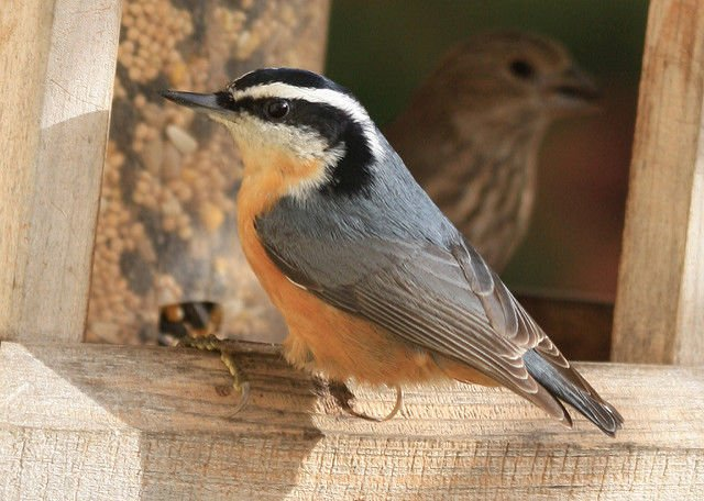 3322_red-breasted_nuthatch_male_odfw