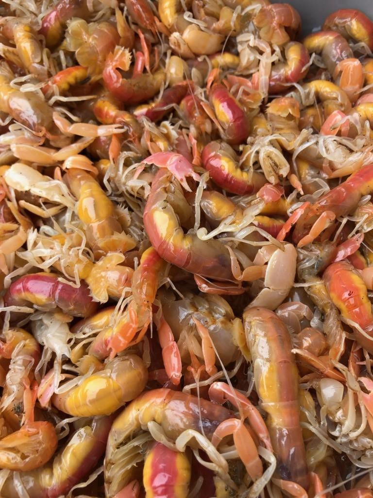 sandshrimp harvest